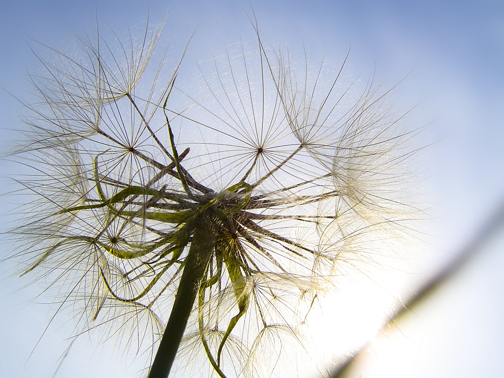 seeded dandelion