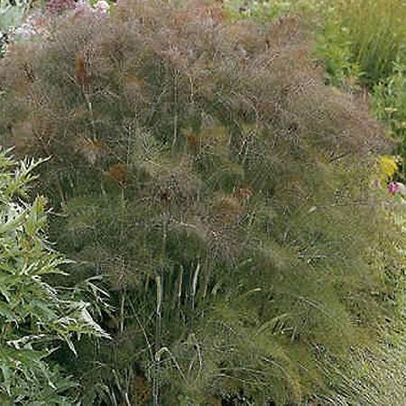 Bronzefennikel plante