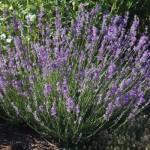 Munstead Lavender - Credit: http://imavex.vo.llnwd.net/o18/clients/urbanfarm/images/Perennial_Plants/Lavender-Munstead-Plant.jpg