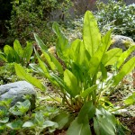 Garden Sorrel - Credit: http://3.bp.blogspot.com/_Ik-j8Q49zYI/S-DCZgpOPcI/AAAAAAAAAU4/BqFL93n0x88/s1600/DSC00685.JPG