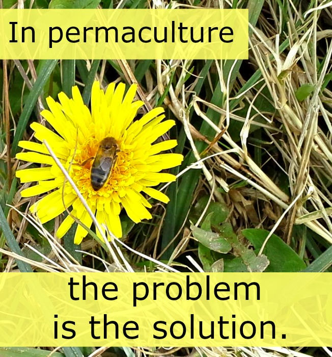 Dandelion is a nutrient accumulator, soil de-compactor, pollen source, human food source, medicine source, and beauty source. They are clearly not the problem, but the solution.